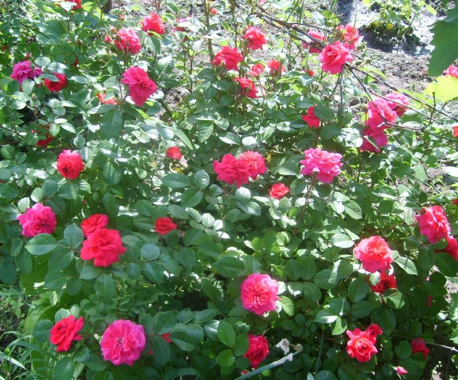 Цветок безвременник фото  посадка и уход  Сайт о саде